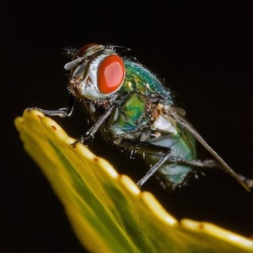 Foto macro mosca su sfondo nero