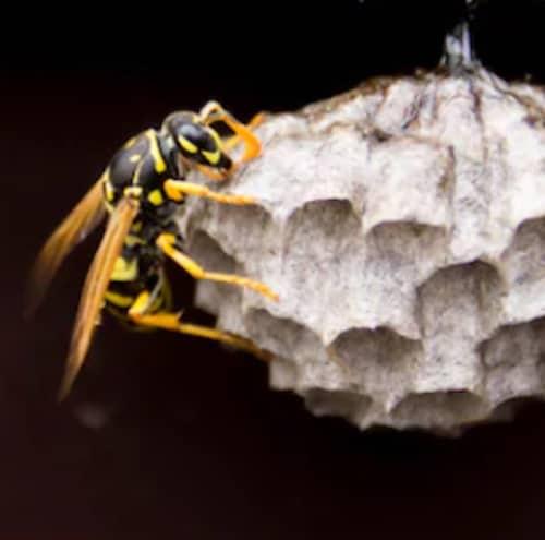 Foto macro nido vespe e calabroni